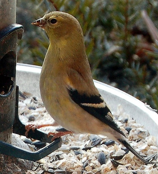 Goldfinch ((photo by Doris High)